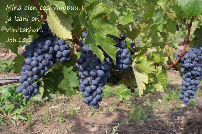 viinitarha